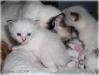 H-kittens La griffe aigue *RU